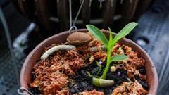 Tận mắt 4 mầm lan như cọng rau rao tiền tỷ của 2 đại gia Hà thành