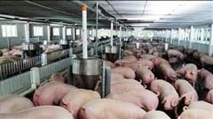 Giá thịt lợn hơi tiếp tục tăng nhẹ