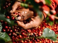 Giá cà phê hôm nay 22/7 bất ngờ tăng 600 đồng/kg, hồ tiêu đi ngang