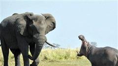 Đơn độc khiêu chiến voi, hà mã nhận kết bẽ bàng