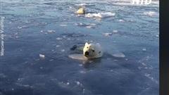Mát mắt xem Gấu Bắc cực chơi đùa và săn mồi dưới băng