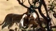 Báo đốm chê thịt đại bàng Martial