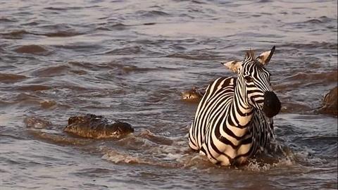 Thoát chết thần kỳ, ngựa vằn quay lại trêu ngươi cá sấu