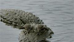 Bình Dương: Nghi có cá sấu xuất hiện trên sông Sài Gòn, đề nghị người dân cảnh giác