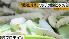 Giáo sư Nhật Bản sản xuất vaccine Covid-19 giá rẻ từ nhộng tằm