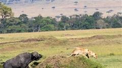 Đôi sư tử thấy trâu rừng liền chạy trối chết