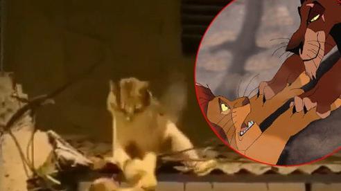 Video 2 chú mèo đánh nhau trên mái nhà vô tình cover cảnh phim 'Vua Sư Tử'