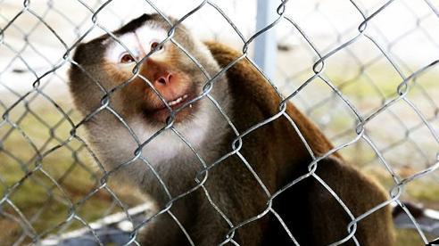 Một người dân tự nguyện giao nộp khỉ đuôi lợn về rừng tự nhiên