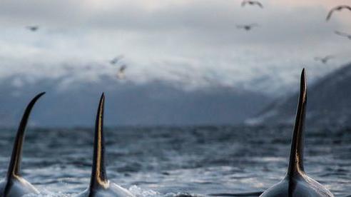 Bí ẩn về những cuộc tấn công tàu thuyền kinh hoàng của cá voi sát thủ