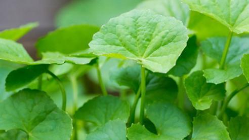 7 loại lá giúp bạn giải độc gan hiệu quả