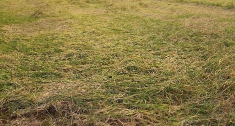 Trên 4.000 ha lúa ở Sóc Trăng bị đổ do mưa lớn
