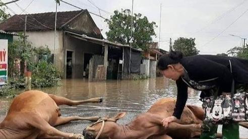 Hình ảnh người phụ nữ khóc nức nở khi thấy 2 con bò đã chết sau trận lũ khiến nhiều người nặng lòng