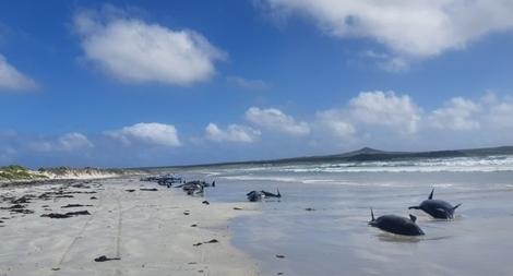 Gần 100 cá voi mắc cạn đến chết ở New Zealand