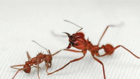 Kỳ lạ kiến có lớp 'giáp' chưa từng thấy ở côn trùng