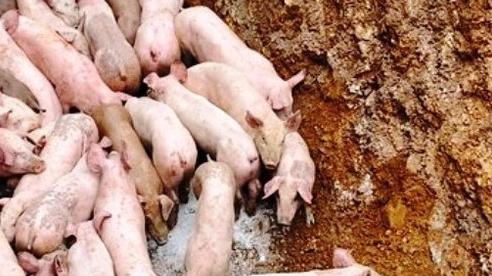 Hàng trăm con lợn bệnh, chết bị vứt bỏ ở khu vực giáp ranh Nghệ An - Thanh Hóa