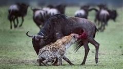 Linh cẩu đơn độc xé xác con mồi khủng