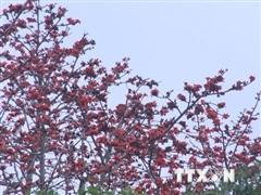 Mùa hoa gạo thắp lửa đỏ trời tháng Ba làm mê mẩn giới trẻ