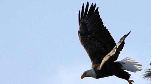 Nhờ thợ săn khử đồng loại vì chúng bay cao hơn mình, con chim ưng nhận cái kết đau đớn, cảnh tỉnh nhiều người