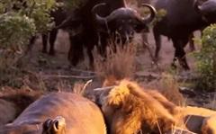 Đang ăn mồi ngon, ba sư tử bị trâu rừng tấn công