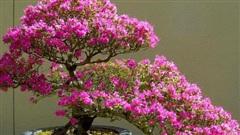 Hoa giấy leo giàn thì rực rỡ rồi, nhưng tạo thế bonsai vừa đẹp vừa sang mới là lựa chọn lý tưởng cho nhà nhỏ hẹp