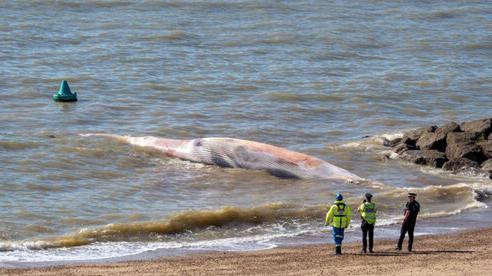 Xác cá voi dài 12 m dạt vào bờ biển