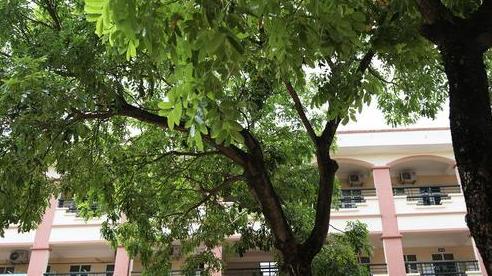 Sau nỗi kinh hoàng 'cây đổ trong trường học': Các trường quản lý cây xanh ra sao?