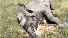 Hơn trăm con voi chết bí ẩn: Khó tìm sự thật