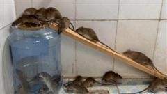 Chuột lúc nhúc sa vào bẫy làm bằng vỏ bình nước 20 lít