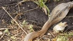 'Nội chiến' trong tứ đại nọc độc Ấn Độ: Con rắn có nọc độc mạnh gấp 15 lần bị ăn thịt
