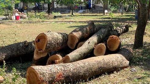 Kiểm điểm trường chặt cây xà cừ 40 năm tuổi