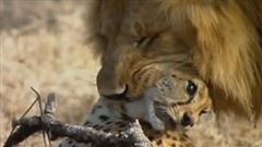 Báo đốm gặp kết thảm khi ăn vụng đồ của sư tử