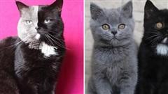Mèo bố '2 mặt' đẹp trai lai láng nhưng 2 hậu duệ mới là sự di truyền hoàn hảo