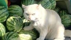 Ông mèo trông quầy dưa hấu bất ngờ nổi tiếng vì biểu cảm nhăn nhó khó chịu