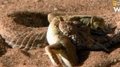 Màn độn thổ bắt mồi cực đỉnh của rắn viper