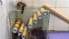 Làm bẫy chuột từ lon nước ngọt khiến chuột 'một đi không thể quay đầu lại'