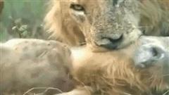 Linh cẩu bị sư tử cái giữ chân sau trong lúc sư tử đực cắn vào cổ: Kết cục bi thảm