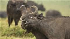 Cuộc chiến giành quyền thống trị của cặp đôi trâu rừng Châu Phi