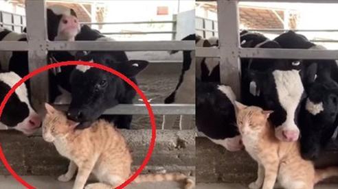 Lạc vào chuồng gia súc, mèo vàng bỗng 'đắc sủng', được các cô bò sữa tranh nhau âu yếm, biểu cảm hưởng thụ của mèo ta mới buồn cười