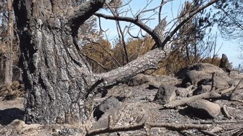 Cảnh hoang tàn ở cánh rừng thông già sau nhiều đợt cháy 'hoành hành' những ngày qua