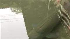 Vô số lần thấy cá bơi đầy dưới cống ở Nhật, nhưng lần đầu chứng kiến chú cá siêu khủng dài hơn cả mét đang lội dưới mương của một công trình bỏ hoang