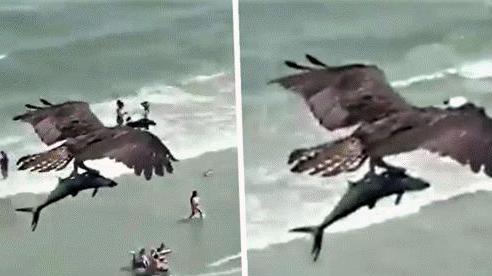 Sự thật đằng sau video gây bão 'Chim ưng biển sà xuống đoạt mạng cá mập'
