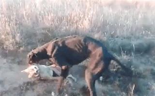 Chó săn hung dữ cắn chặt cổ họng chó rừng, quăng quật đến chết