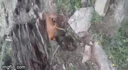 Bị chó nhà tấn công đột ngột, khỉ đầu chó khổ sở tìm cách thoát thân