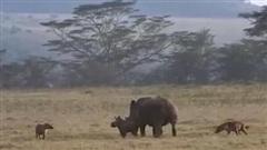 Tê giác mẹ ra đòn cuối, linh cẩu tiếc ngẩn người