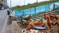 Hàng loạt khu vực ở Hà Nội sẽ không được chăn nuôi lợn, gà