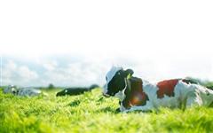 Sữa Mộc Châu dự kiến niêm yết, bán lượng cổ phiếu trị giá 1.200 tỷ đồng cho Vinamilk và GTN