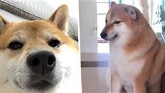 Sự thật về chó shiba béo mầm bị cả thế giới chế ảnh cười cợt