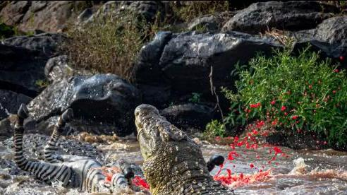 Cá sấu 226 kg tóm gọn ngựa vằn qua sông chỉ trong chớp mắt