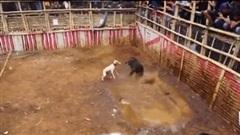 Bị chó săn hung dữ dồn vào góc, lợn rừng điên tiết quay sang cắn xé, húc văng đối thủ