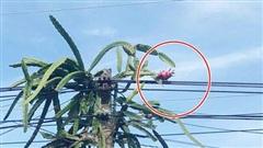 Trồng phải cây thanh long 'kiêu kỳ' chỉ đậu có một quả ở vị trí hiểm hóc, chủ nhà đành đứng nhìn ngậm ngùi từ phía xa